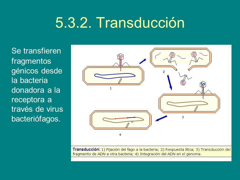 5.3.2. Transducción Se transfieren fragmentos génicos desde la bacteria donadora a la receptora a través de virus bacteriófagos.