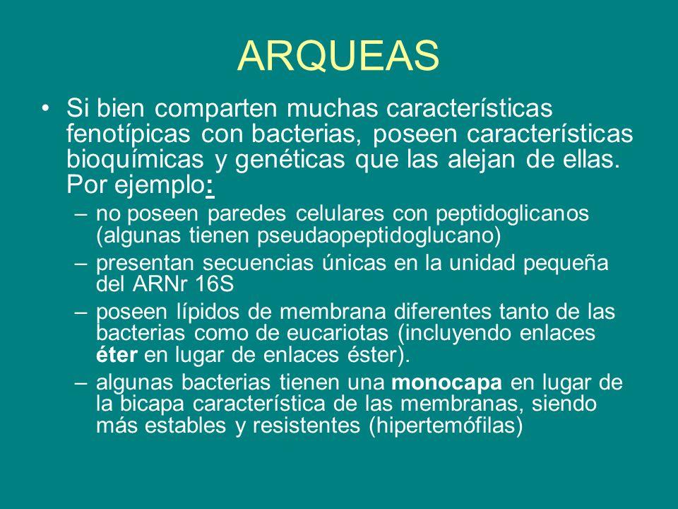 ARQUEAS Si bien comparten muchas características fenotípicas con bacterias, poseen características bioquímicas y genéticas que las alejan de ellas. Po