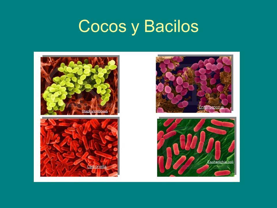 4.4.Citoplasma bacteriano Carece de compartimentos membranosos.