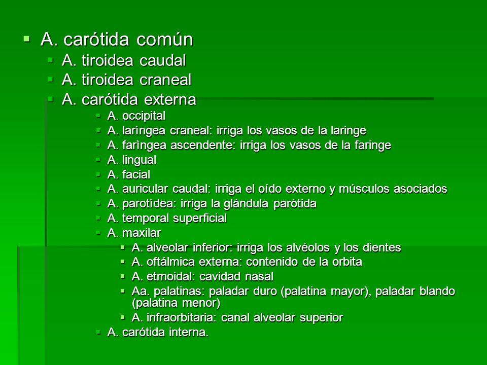 A. carótida común A. carótida común A. tiroidea caudal A. tiroidea caudal A. tiroidea craneal A. tiroidea craneal A. carótida externa A. carótida exte