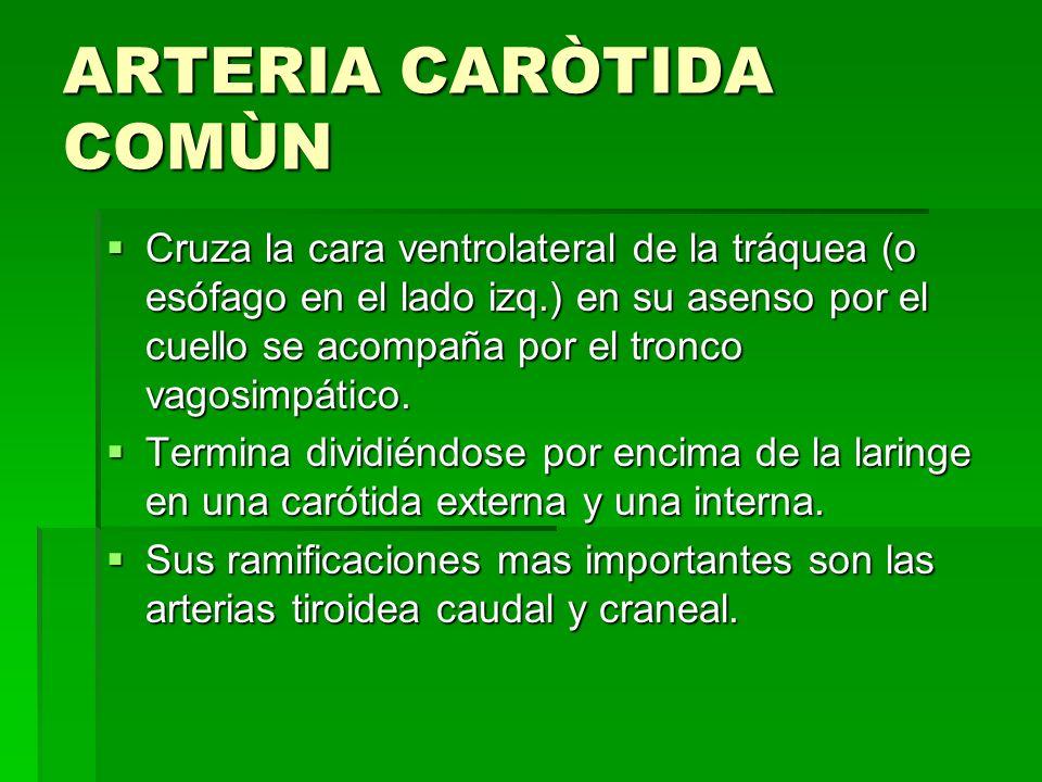 ARTERIA CARÒTIDA COMÙN Cruza la cara ventrolateral de la tráquea (o esófago en el lado izq.) en su asenso por el cuello se acompaña por el tronco vago