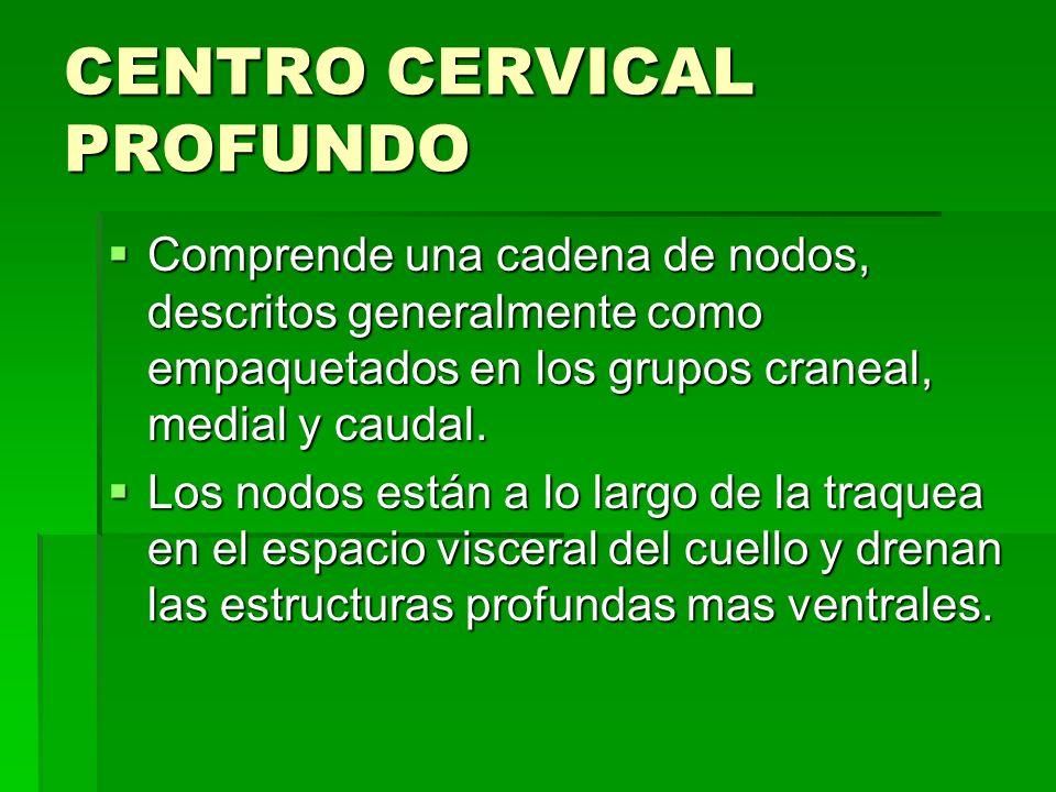 CENTRO CERVICAL PROFUNDO Comprende una cadena de nodos, descritos generalmente como empaquetados en los grupos craneal, medial y caudal. Comprende una