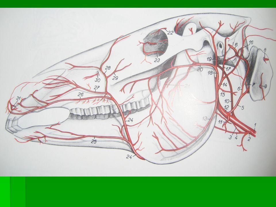 ARTERIA CAROTIDA INTERNA Penetra en la cavidad craneal a través del agujero yugular y el canal carotideo.