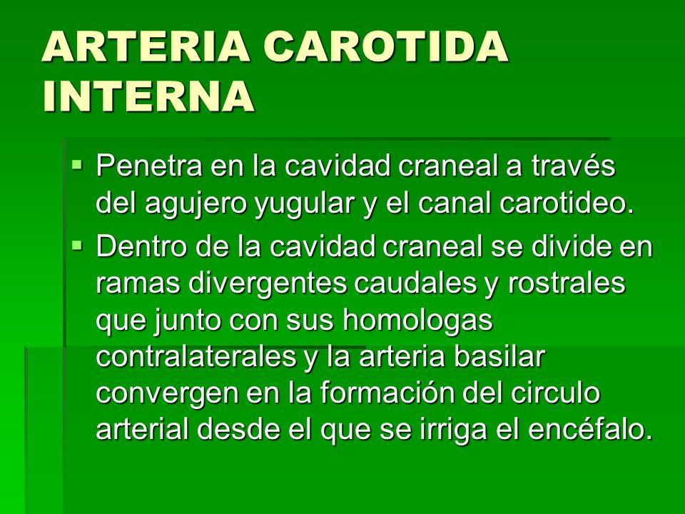ARTERIA CARÒTIDA EXTERNA En sentido estricto, describe un corto arco de convexidad dorsal que descansa sobre la faringe y que es cubierto por las glándula mandibular y músculo digástrico En sentido estricto, describe un corto arco de convexidad dorsal que descansa sobre la faringe y que es cubierto por las glándula mandibular y músculo digástrico Sus ramas son la occipital, laringe craneal faringea ascendente, lingual, facial, auricular caudal, parotìdea y temporal superficial.