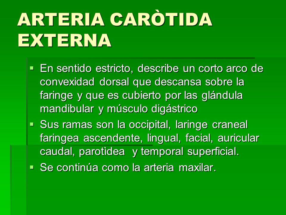 ARTERIA CARÒTIDA EXTERNA En sentido estricto, describe un corto arco de convexidad dorsal que descansa sobre la faringe y que es cubierto por las glán