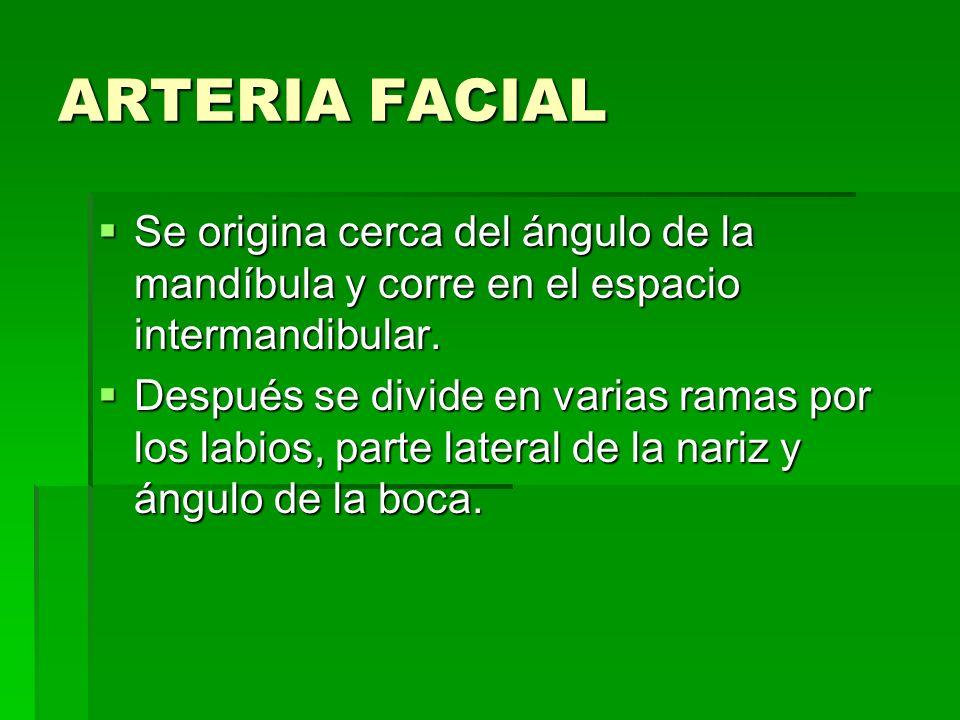 ARTERIA FACIAL Se origina cerca del ángulo de la mandíbula y corre en el espacio intermandibular. Se origina cerca del ángulo de la mandíbula y corre