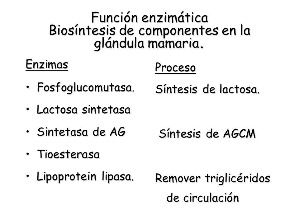 Función enzimática Biosíntesis de componentes en la glándula mamaria. Enzimas Fosfoglucomutasa.Fosfoglucomutasa. Lactosa sintetasaLactosa sintetasa Si