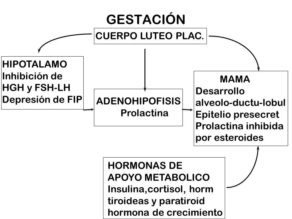 GESTACIÓN CUERPO LUTEO PLAC. MAMA Desarrollo alveolo-ductu-lobul Epitelio presecret Prolactina inhibida por esteroides HORMONAS DE APOYO METABOLICO In