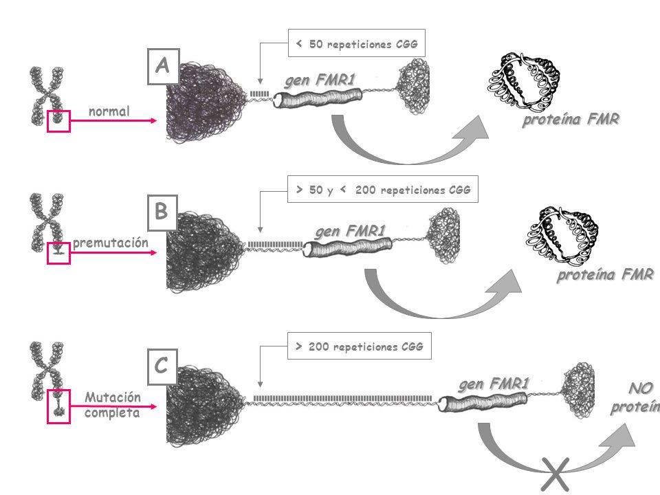 gen FMR1 normal < 50 repeticiones CGG proteína FMR gen FMR1 premutación > 50 y < 200 repeticiones CGG proteína FMR gen FMR1 Mutación completa > 200 re