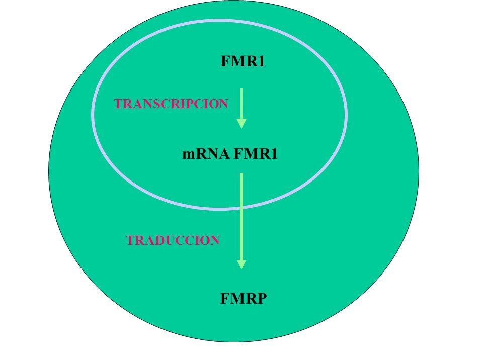 FMR1 mRNA FMR1 TRANSCRIPCION FMRP TRADUCCION