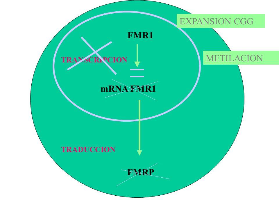 FMR1 mRNA FMR1 TRANSCRIPCION FMRP TRADUCCION EXPANSION CGG METILACION