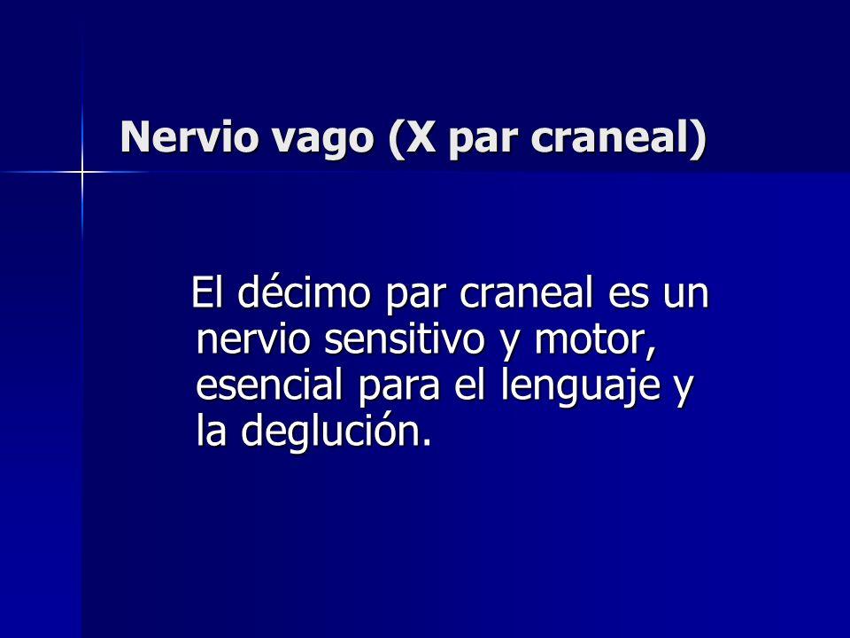 Nervio vago (X par craneal) El décimo par craneal es un nervio sensitivo y motor, esencial para el lenguaje y la deglución El décimo par craneal es un