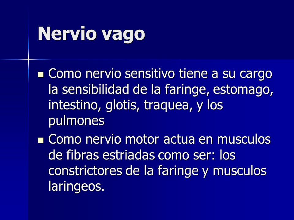 Nervio vago Como nervio sensitivo tiene a su cargo la sensibilidad de la faringe, estomago, intestino, glotis, traquea, y los pulmones Como nervio sen