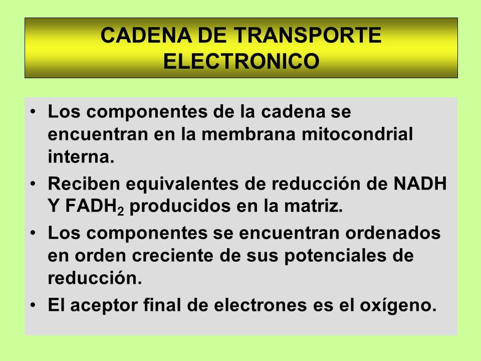 CADENA DE TRANSPORTE ELECTRONICO Los componentes de la cadena se encuentran en la membrana mitocondrial interna. Reciben equivalentes de reducción de
