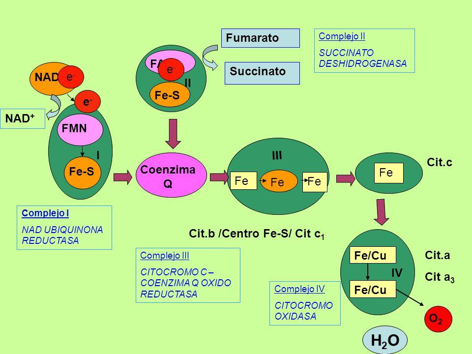 Cit.b /Centro Fe-S/ Cit c 1 Coenzima Q Fe/Cu O2O2 IV FAD Fe-S II Complejo III CITOCROMO C – COENZIMA Q OXIDO REDUCTASA Complejo IV CITOCROMO OXIDASA C