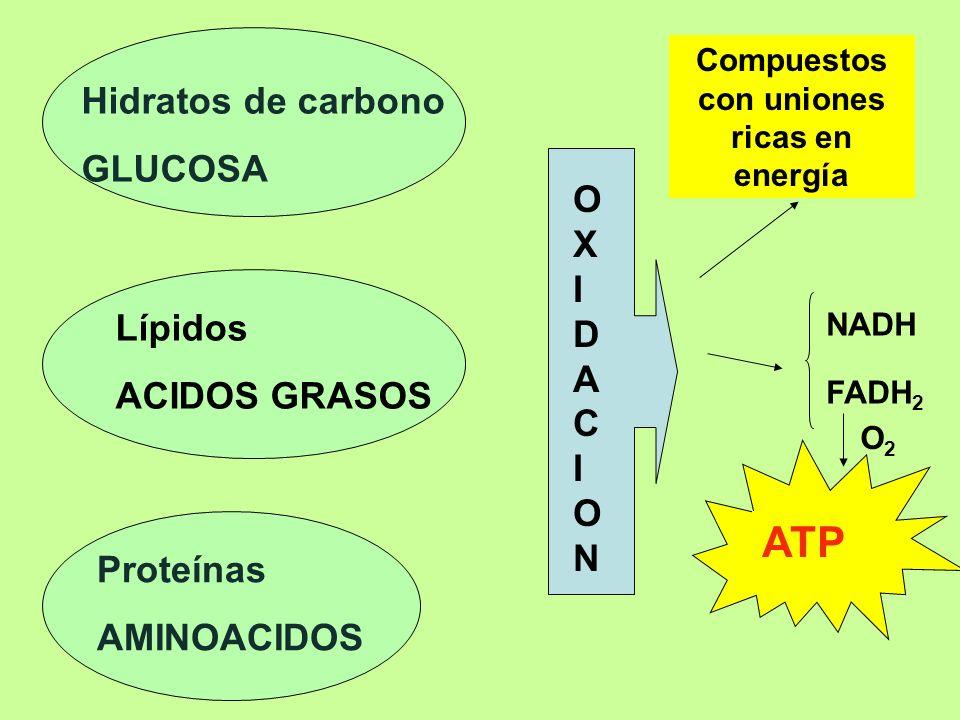 Lípidos ACIDOS GRASOS Hidratos de carbono GLUCOSA Proteínas AMINOACIDOS OXIDACIONOXIDACION Compuestos con uniones ricas en energía NADH FADH 2 ATP O2O