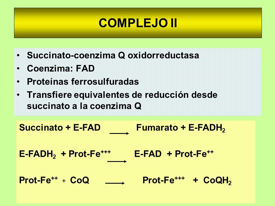 COMPLEJO II Succinato-coenzima Q oxidorreductasa Coenzima: FAD Proteínas ferrosulfuradas Transfiere equivalentes de reducción desde succinato a la coe