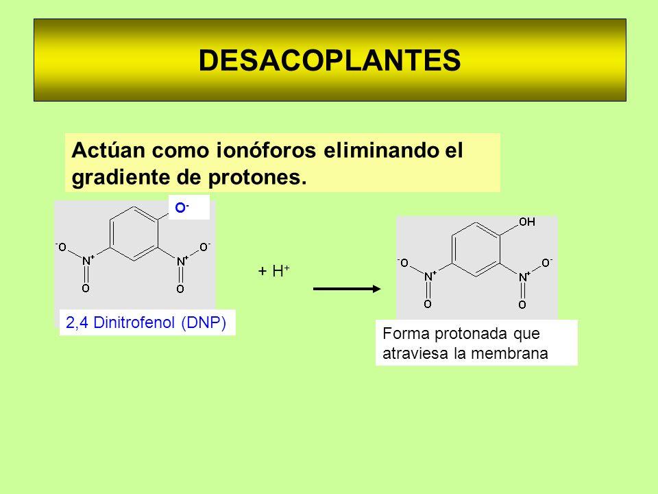 DESACOPLANTES Actúan como ionóforos eliminando el gradiente de protones. + H + O-O- 2,4 Dinitrofenol (DNP) Forma protonada que atraviesa la membrana