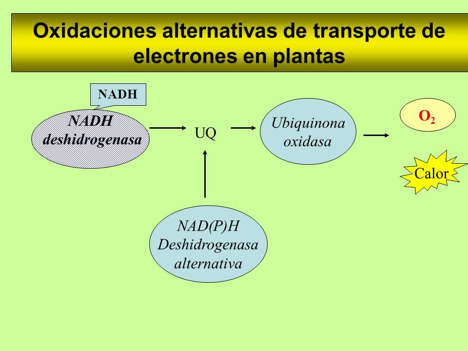 Oxidaciones alternativas de transporte de electrones en plantas NAD(P)H Deshidrogenasa alternativa NADH deshidrogenasa Ubiquinona oxidasa O2O2 NADH Ca