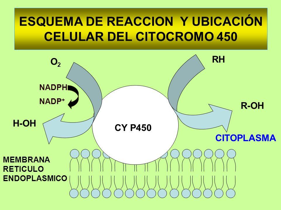 ESQUEMA DE REACCION Y UBICACIÓN CELULAR DEL CITOCROMO 450 CY P450 H-OH O2O2 RH R-OH CITOPLASMA MEMBRANA RETICULO ENDOPLASMICO NADPH NADP +