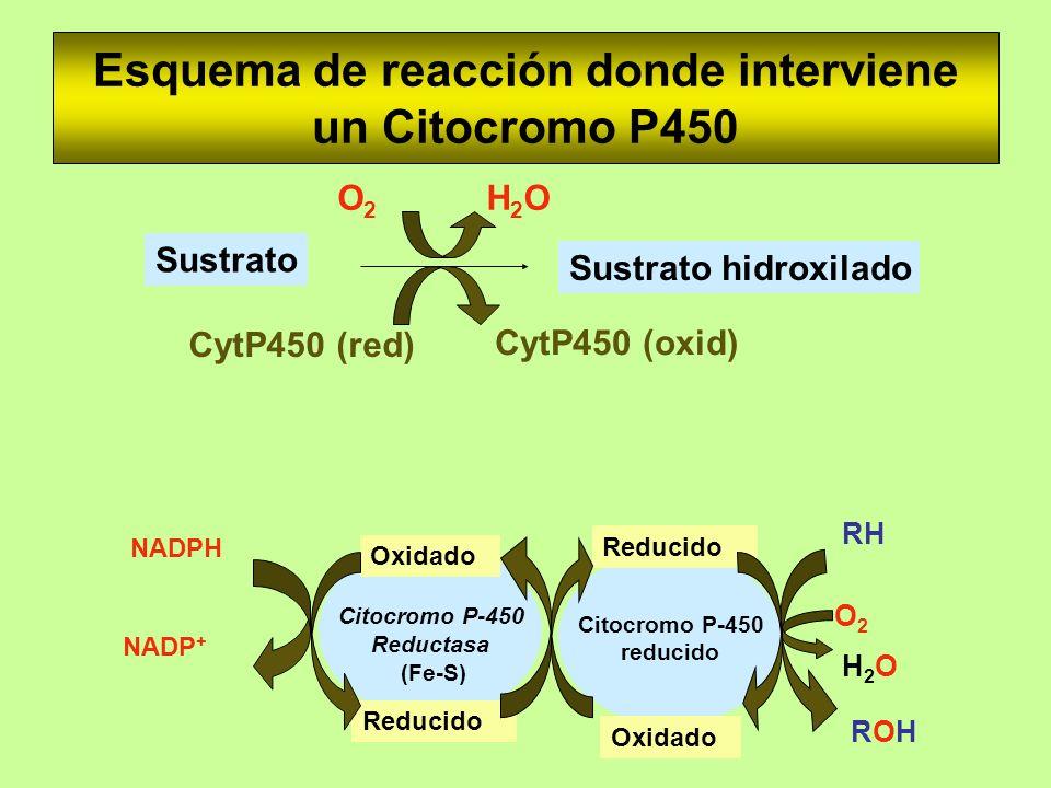 Esquema de reacción donde interviene un Citocromo P450 NADPH NADP + CytP450 (oxid) CytP450 (red) Sustrato Sustrato hidroxilado O2O2 H2OH2O Citocromo P