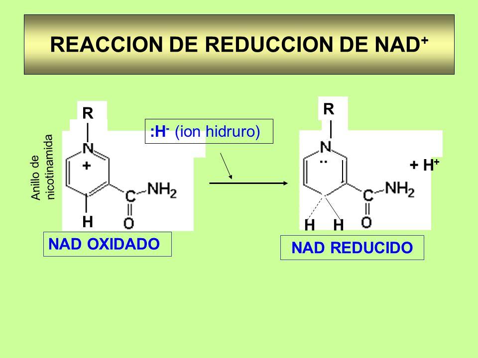 REACCION DE REDUCCION DE NAD + R H + :H - (ion hidruro).. H + H + R NAD OXIDADO NAD REDUCIDO Anillo de nicotinamida