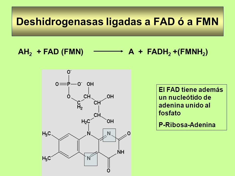 Deshidrogenasas ligadas a FAD ó a FMN AH 2 + FAD (FMN) A + FADH 2 +(FMNH 2 ) El FAD tiene además un nucleótido de adenina unido al fosfato P-Ribosa-Ad