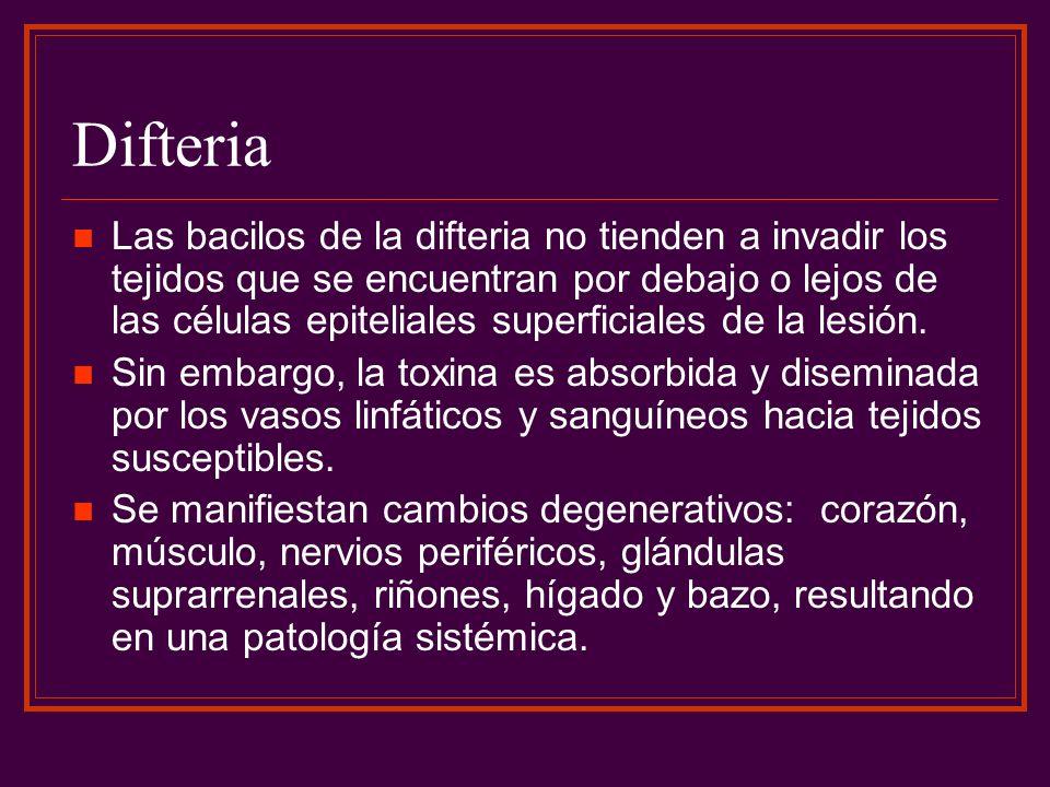 Difteria Las bacilos de la difteria no tienden a invadir los tejidos que se encuentran por debajo o lejos de las células epiteliales superficiales de