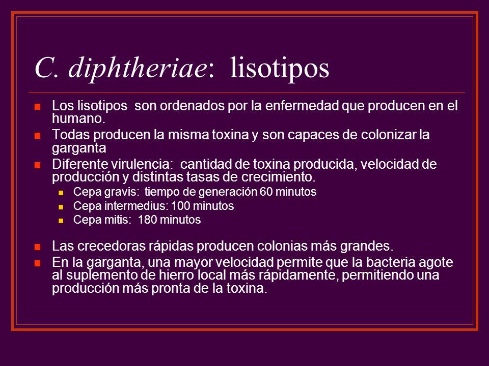 C. diphtheriae: lisotipos Los lisotipos son ordenados por la enfermedad que producen en el humano. Todas producen la misma toxina y son capaces de col