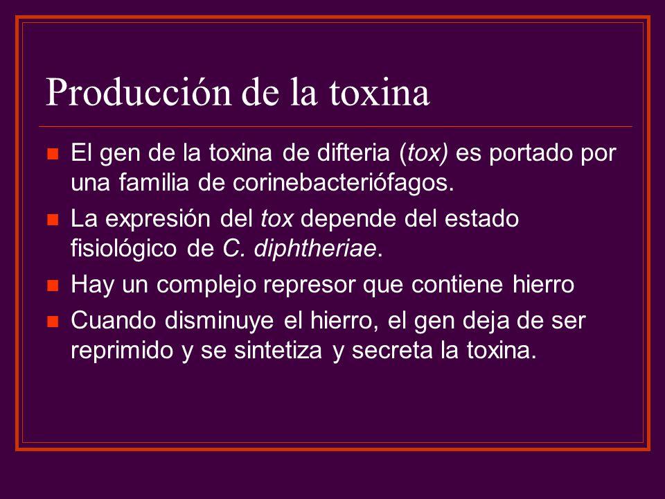 Producción de la toxina El gen de la toxina de difteria (tox) es portado por una familia de corinebacteriófagos. La expresión del tox depende del esta