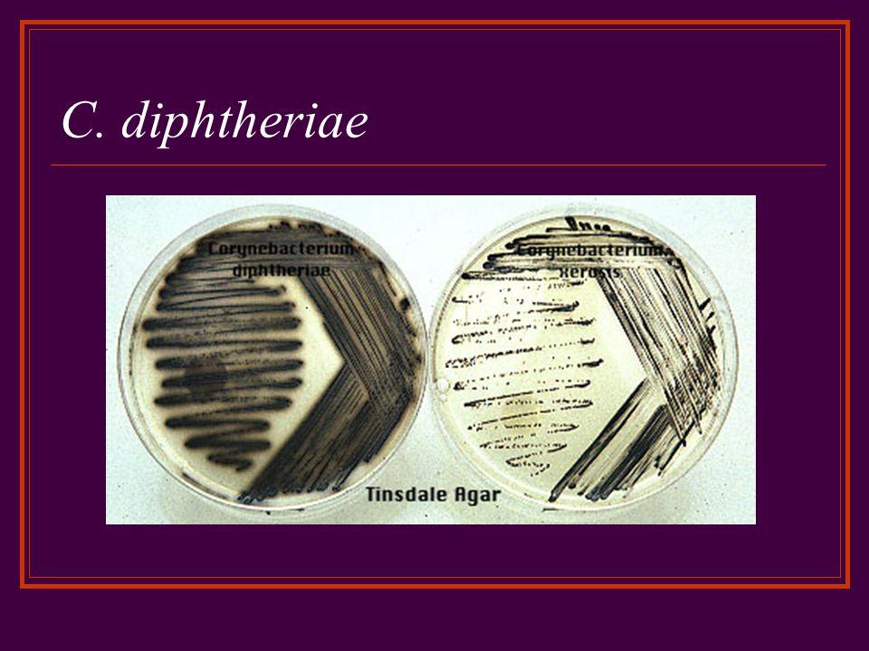 C. diphtheriae