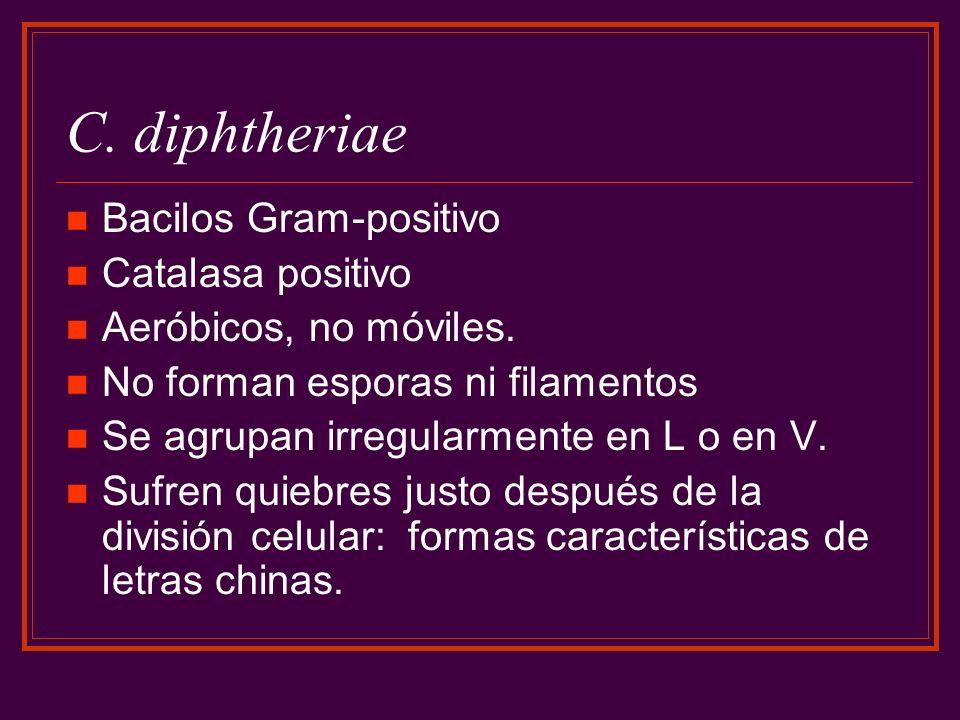 C. diphtheriae Bacilos Gram-positivo Catalasa positivo Aeróbicos, no móviles. No forman esporas ni filamentos Se agrupan irregularmente en L o en V. S
