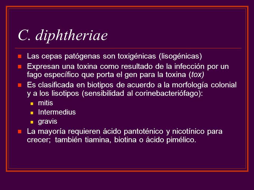 C. diphtheriae Las cepas patógenas son toxigénicas (lisogénicas) Expresan una toxina como resultado de la infección por un fago específico que porta e