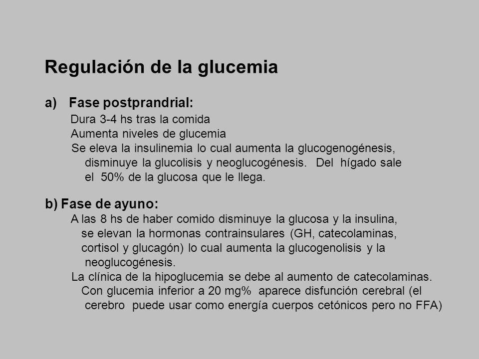 Regulación de la glucemia a)Fase postprandrial: Dura 3-4 hs tras la comida Aumenta niveles de glucemia Se eleva la insulinemia lo cual aumenta la gluc