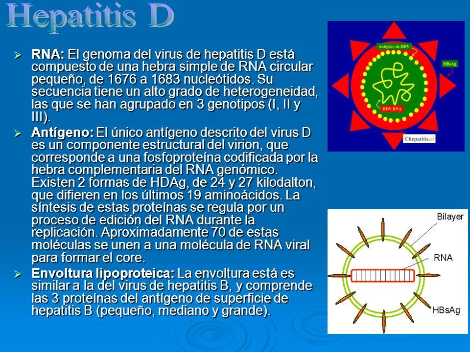 RNA: El genoma del virus de hepatitis D está compuesto de una hebra simple de RNA circular pequeño, de 1676 a 1683 nucleótidos. Su secuencia tiene un