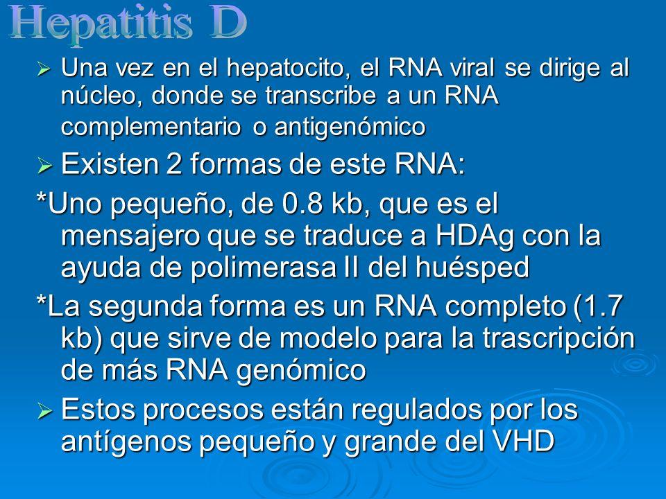 El HDAg pequeño activa la replicación viral uniéndose directamente al RNA El HDAg pequeño activa la replicación viral uniéndose directamente al RNA A su vez el HDAg grande inhibe la replicación viral, induciendo al empaque del virión debido a que tiene un sitio de unión con la proteína pequeña del HBsAg A su vez el HDAg grande inhibe la replicación viral, induciendo al empaque del virión debido a que tiene un sitio de unión con la proteína pequeña del HBsAg El ensamblaje y salida del virus depende de la presencia del virus de hepatitis B.