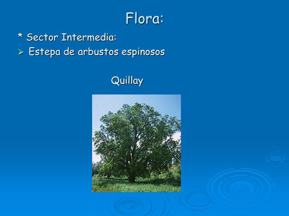 Flora: * Sector Intermedia: Estepa de arbustos espinosos Estepa de arbustos espinosos Quillay Quillay
