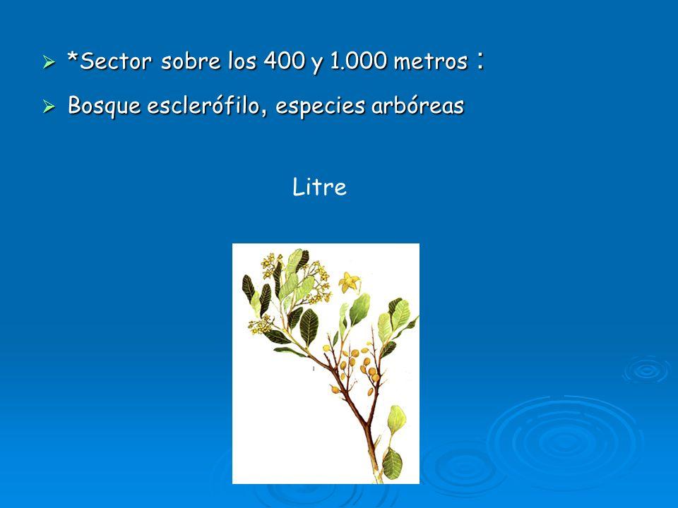 *Sector sobre los 400 y 1.000 metros : *Sector sobre los 400 y 1.000 metros : Bosque esclerófilo, especies arbóreas Bosque esclerófilo, especies arbór