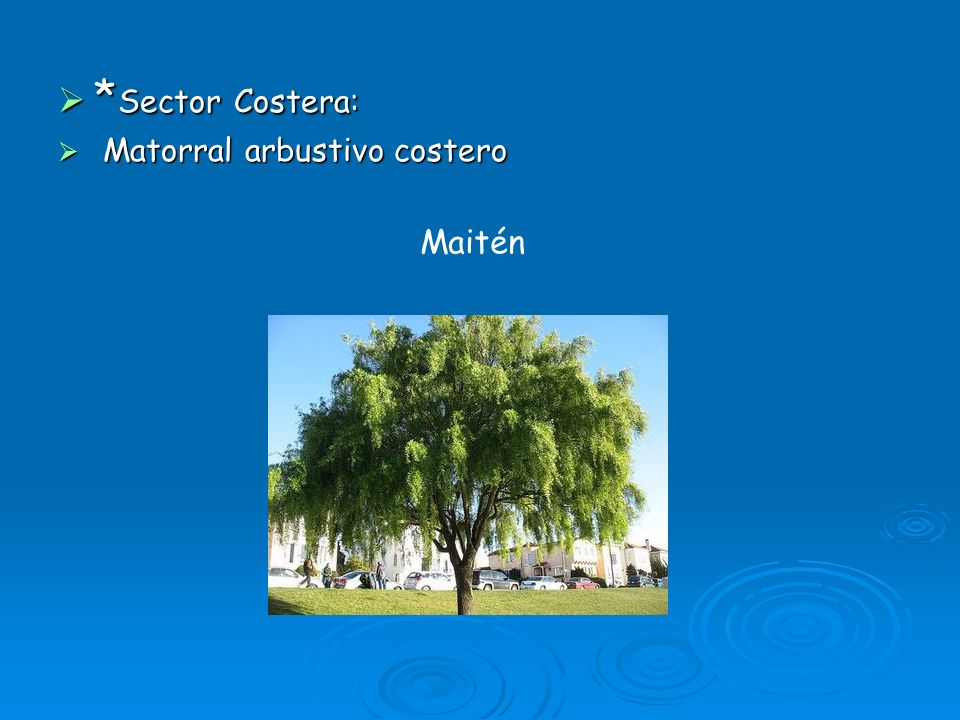 * Sector Costera: * Sector Costera: Matorral arbustivo costero Matorral arbustivo costero Maitén