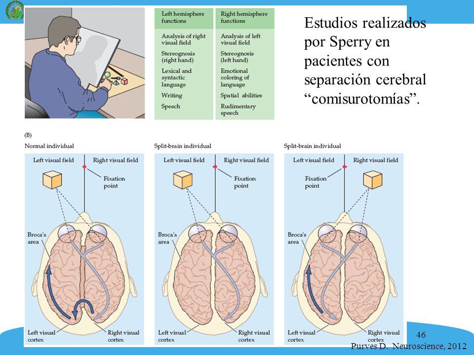46 Purves D. Neuroscience, 2012 Estudios realizados por Sperry en pacientes con separación cerebral comisurotomías.