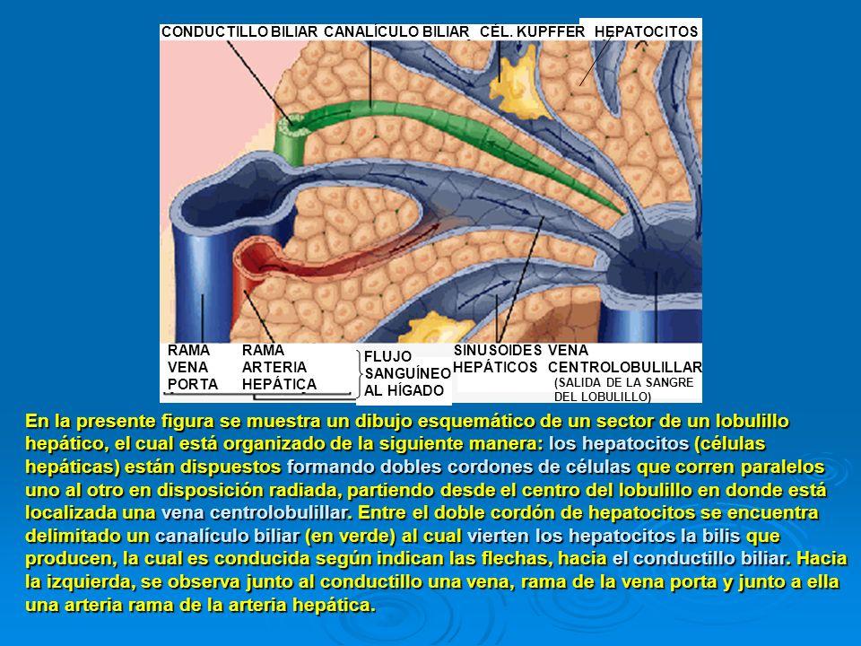 En la presente figura se muestra un dibujo esquemático de un sector de un lobulillo hepático, el cual está organizado de la siguiente manera: los hepa
