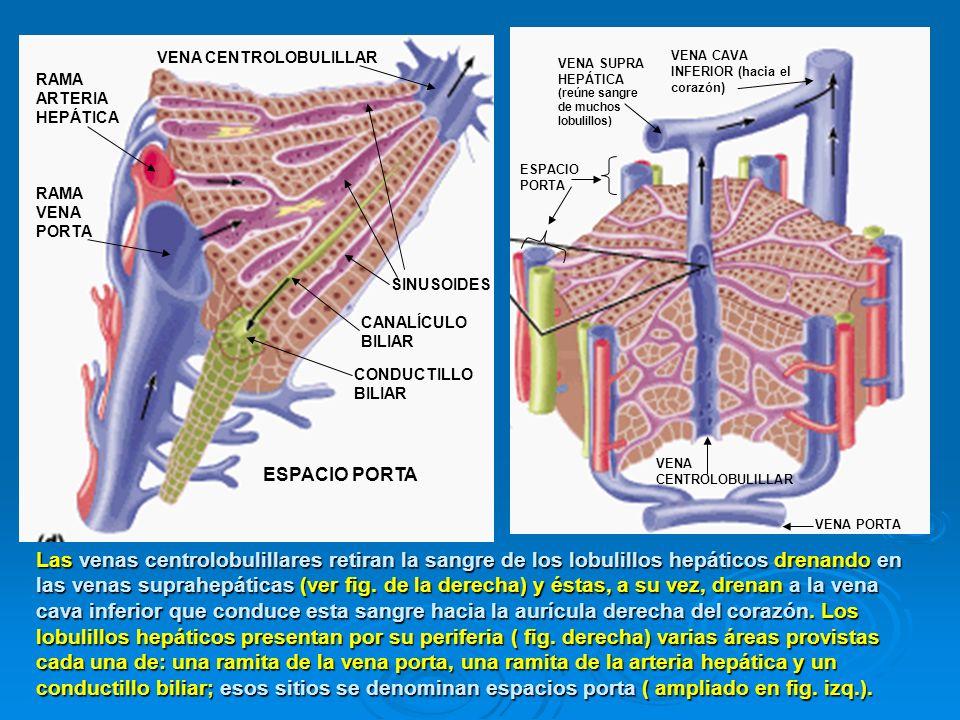 VENA SUPRA HEPÁTICA VENA CAVA INFERIOR (hacia el corazón) (reúne sangre de muchos lobulillos) VENA PORTA VENA CENTROLOBULILLAR CONDUCTILLO BILIAR RAMA