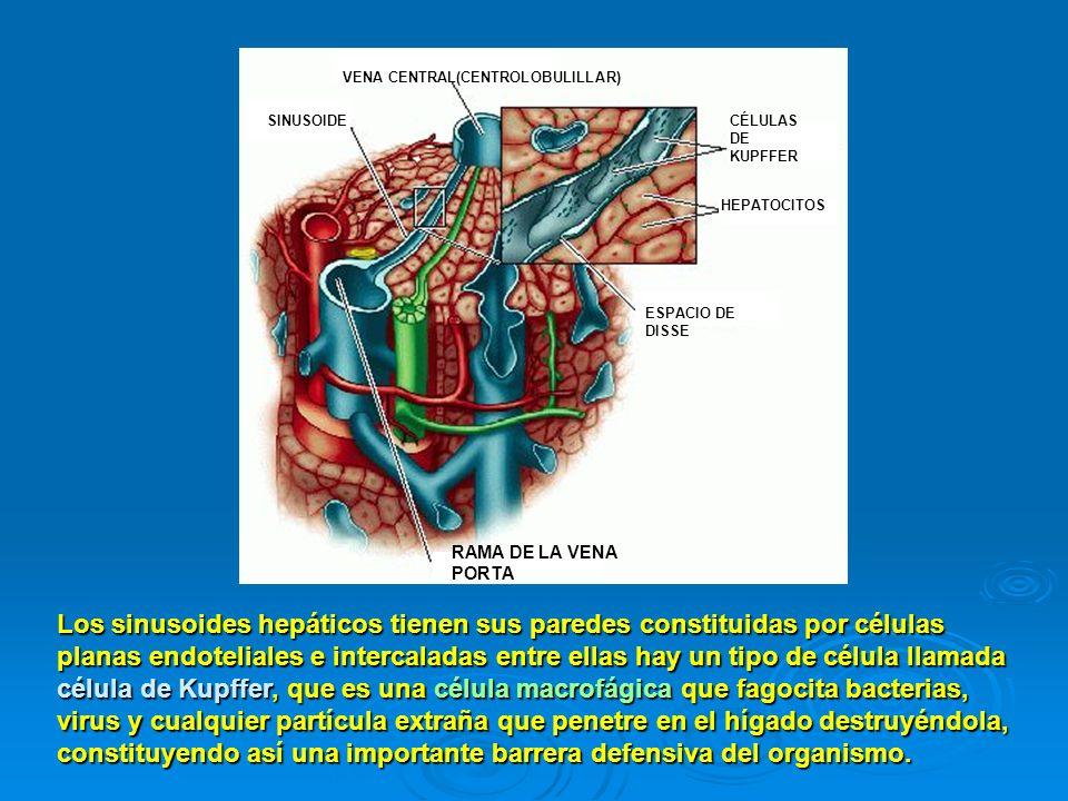RAMA DE LA VENA PORTA ESPACIO DE DISSE SINUSOIDE VENA CENTRAL(CENTROLOBULILLAR) CÉLULAS DE KUPFFER HEPATOCITOS Los sinusoides hepáticos tienen sus par