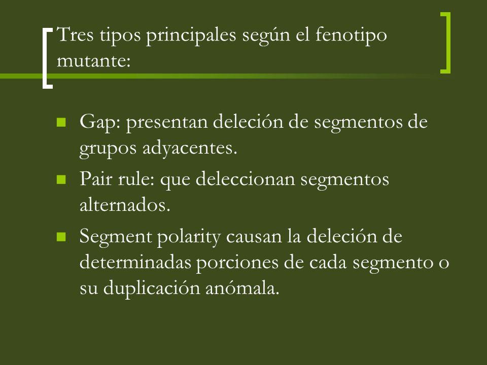 Tres tipos principales según el fenotipo mutante: Gap: presentan deleción de segmentos de grupos adyacentes. Pair rule: que deleccionan segmentos alte