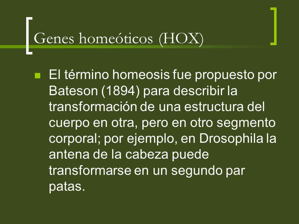 Genes homeóticos (HOX) El término homeosis fue propuesto por Bateson (1894) para describir la transformación de una estructura del cuerpo en otra, per