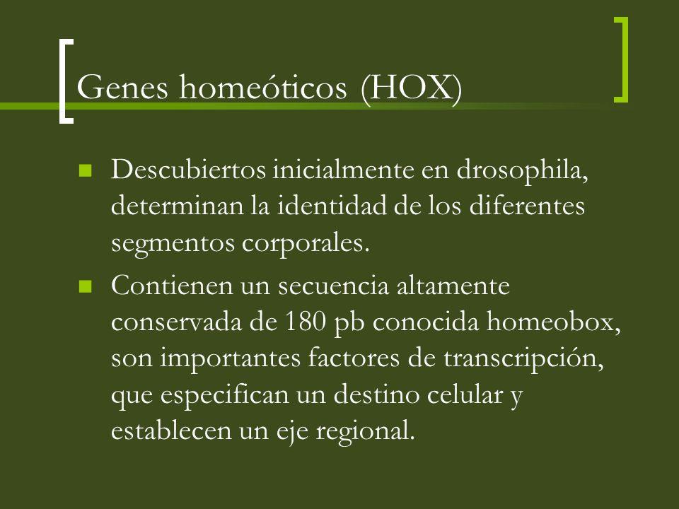 Genes homeóticos (HOX) Descubiertos inicialmente en drosophila, determinan la identidad de los diferentes segmentos corporales. Contienen un secuencia