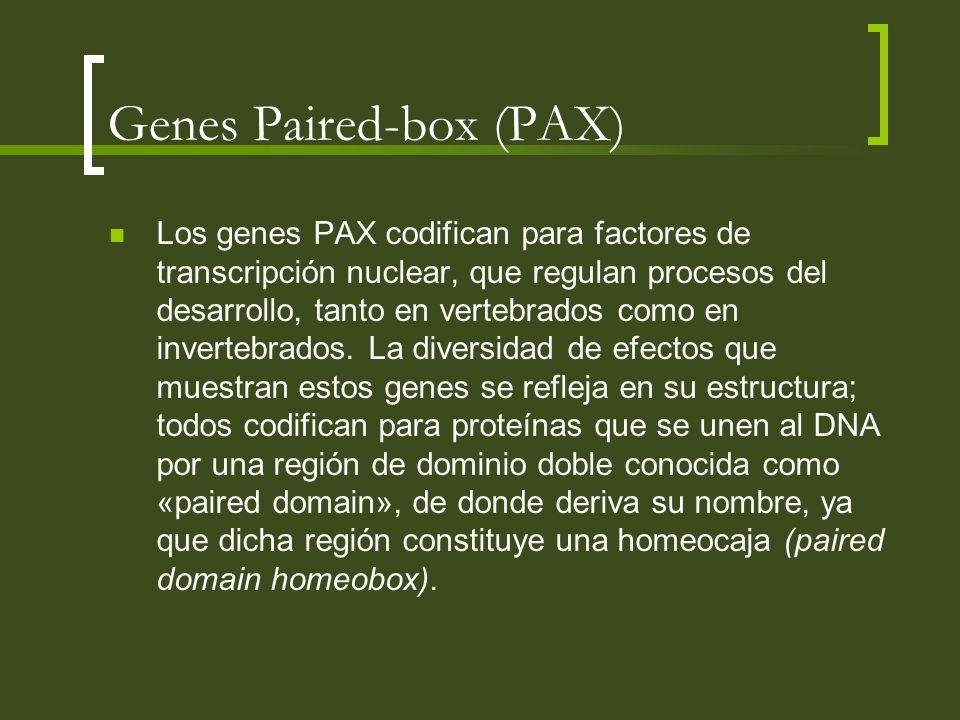 Genes Paired-box (PAX) Los genes PAX codifican para factores de transcripción nuclear, que regulan procesos del desarrollo, tanto en vertebrados como