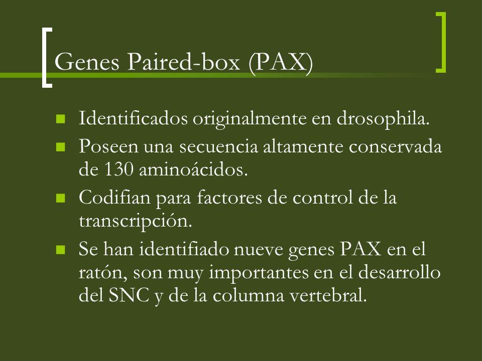 Genes Paired-box (PAX) Identificados originalmente en drosophila. Poseen una secuencia altamente conservada de 130 aminoácidos. Codifian para factores