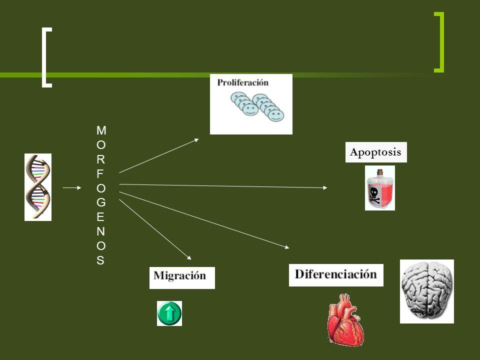 Apoptosis MORFOGENOSMORFOGENOS