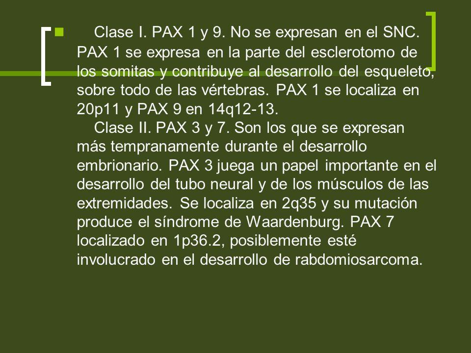 Clase I. PAX 1 y 9. No se expresan en el SNC. PAX 1 se expresa en la parte del esclerotomo de los somitas y contribuye al desarrollo del esqueleto, so